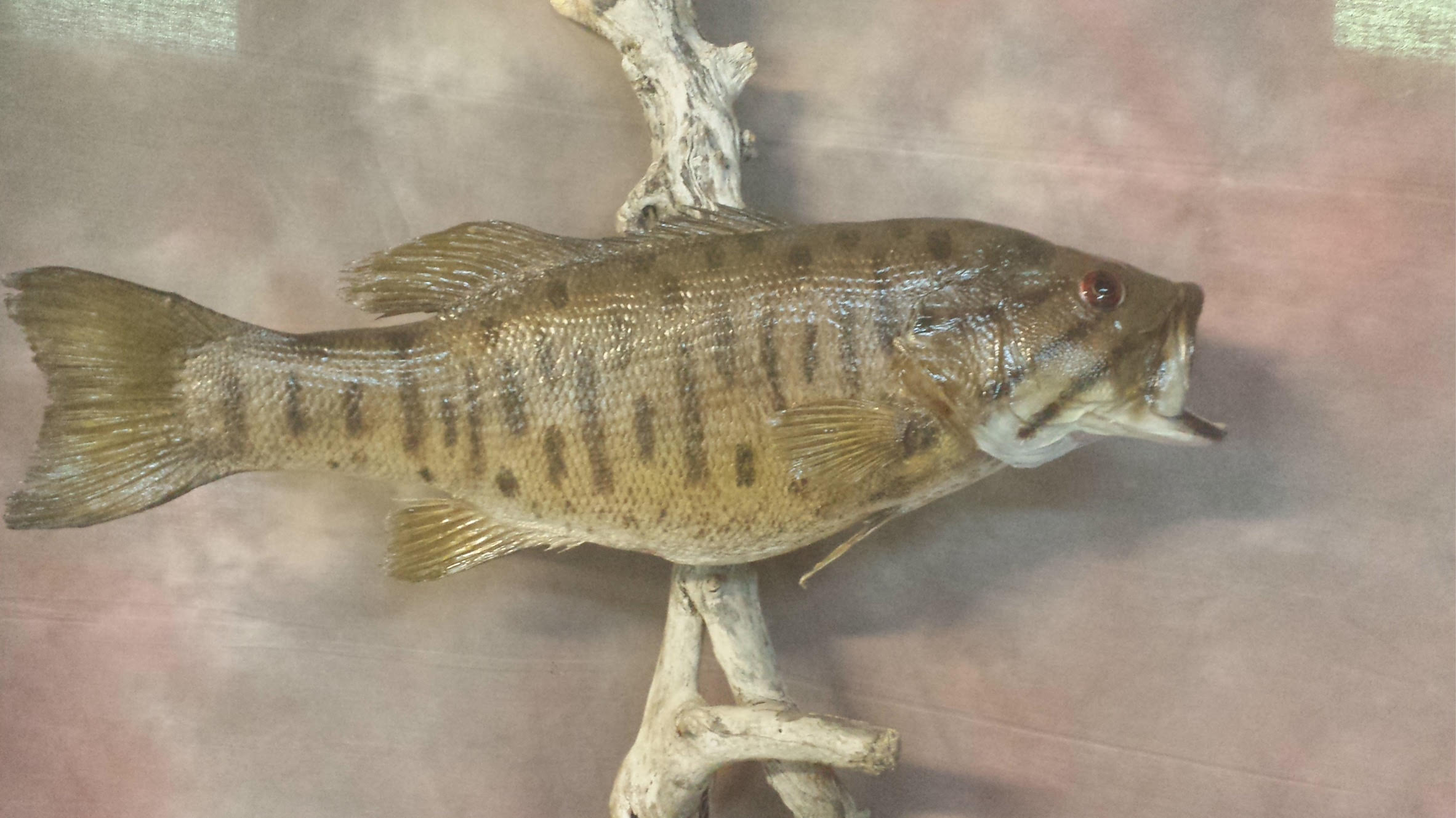 Fish buffalo river taxidermy for Fish taxidermy prices